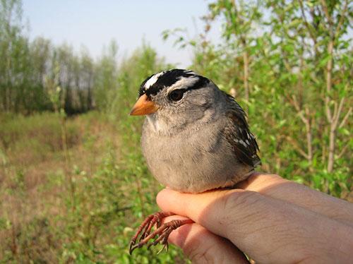 jpg Migrating Alaska sparrow perform despite lack of sleep