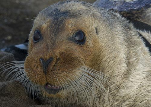 jpg Alaska Judge Rejects Bearded Seals' 'Threatened' Status