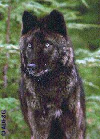 Groups Petition for Emergency Action to Save Southeast Alaska Wolves