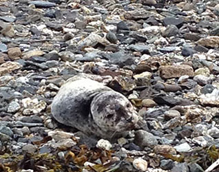 jpg SEAL PUP RESCUED