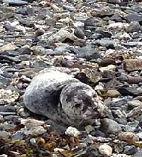 SEAL PUP RESCUED