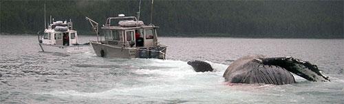 jpg Dead Humpback Whale Found Afloat Near Point Carolus