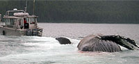 Dead Humpback Whale Found Afloat Near Point Carolus