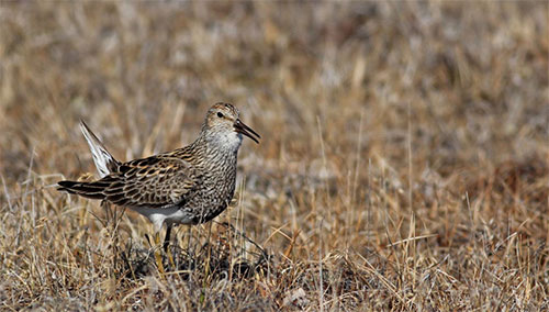 jpg Alaska's shorebirds exposed to mercury