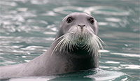 Bearded Seal Listing Poses Significant Implications for Native Communities Throughout Alaska