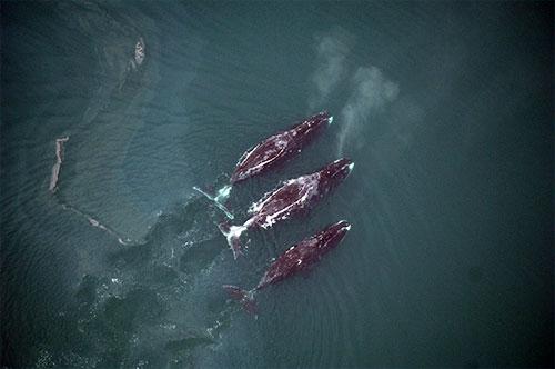 jpg Study ranks marine mammals' risks from Arctic shipping