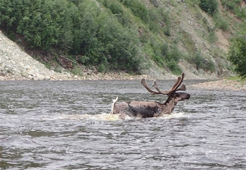 jpg Parting a sea of Fortymile caribou