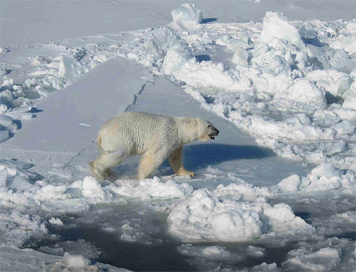 jpg Male Polar Bear on Pack Ice