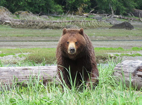 jpg Tongass National Forest: Pack Creek brown bea