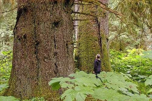 jpg Old growth trees