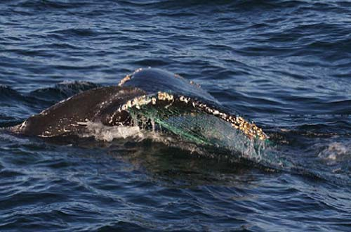 jpg Humpback cow and calf swim free after life-threatening entanglement