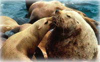 More Actions Needed to Help Western Steller Sea Lion Recover