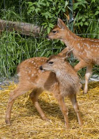 Two Newborn Southeast Alaska Deer Find Refuge at Wildlife Center