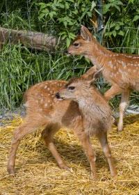 Two Newborn Southeast Alaska Deer Find Refuge at Wildlife Center