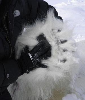 jpg Polar Bear Paw