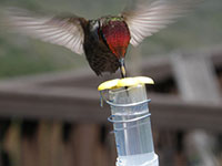 Sweet Feat: How hummingbirds evolved sweet taste detection