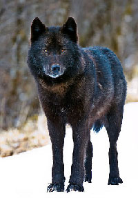 Enviros Object to POW Wolf Harvest