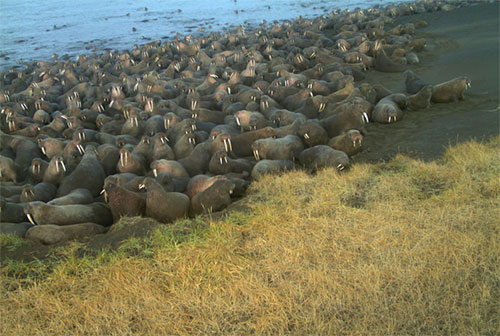 jpg Pacific walruses haul out near Point Lay earlier than in previous years