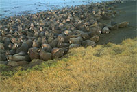 Pacific walruses haul out near Point Lay earlier than in previous years