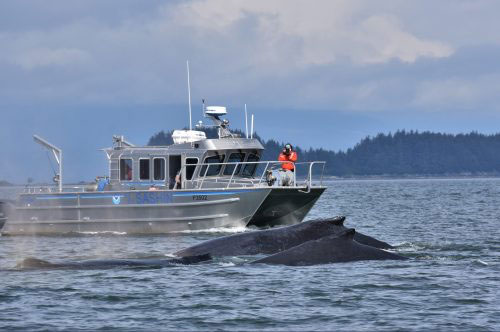 jpg Canceled tour season allows study of undisturbed humpback whales