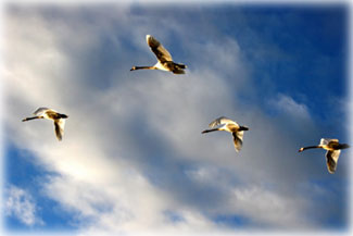 Formation flying makes migration less of a drag...