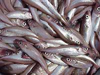 Big Increase in Bering Sea Pollock Survey Abundance Estimates Reported