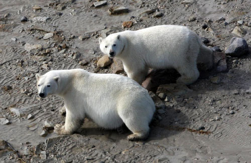 jpg Two polar bears...