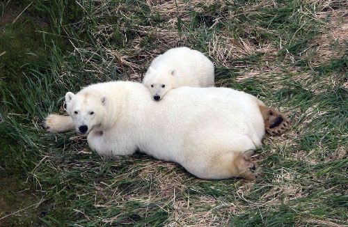 jpg Polar bears may survive ice melt, with or without seals