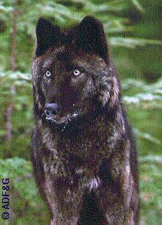 jpg Groups to file Emergency ESA Petition after Feds' Refusal to Stop POW Wolf Hunt