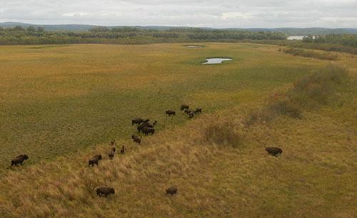 jpg Wood bison finding home in Alaska