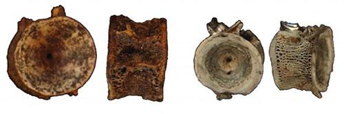 jpg Salmon bone specimens from the Upward Sun River site in Alaska.