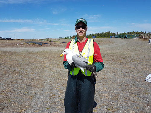 jpg John Reed (USGS scientist) holding a gull marked with a satellite transmitter at the Soldotna landfill in June 2016.