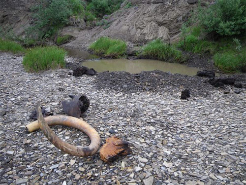 jpg A mammoth tusk, teeth and skull parts lie on the gravel after they were dug out of the Kikiakrorak River...