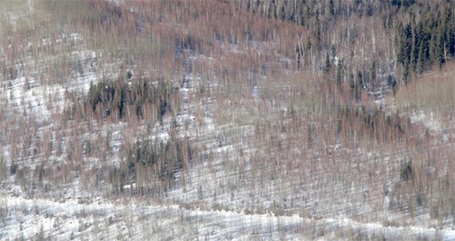 jpg The rectangular plots of dark green vegetation in this 2014 aerial photograph show white spruce trees thriving in parts of a post-wildfire forest regeneration test area established almost 30 years earlier by researchers.