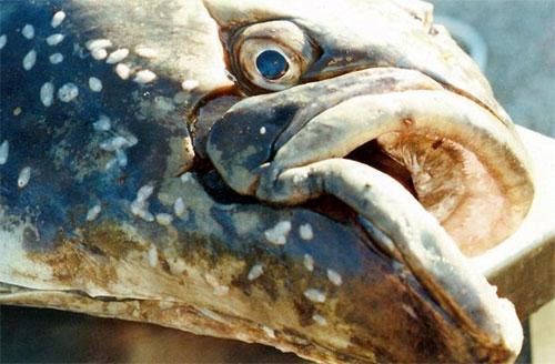 jpg Old fish few and far between under fishing pressure