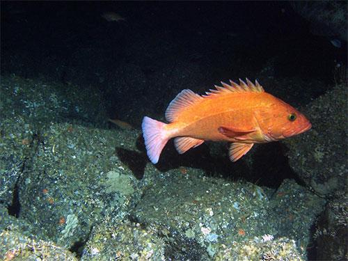 jpg This is an adult yelloweye rockfish