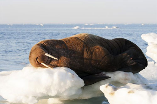 jpg Tooth collections offer clues about walrus reproduction