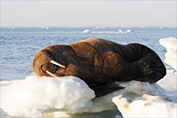 Tooth collections offer clues about walrus reproduction