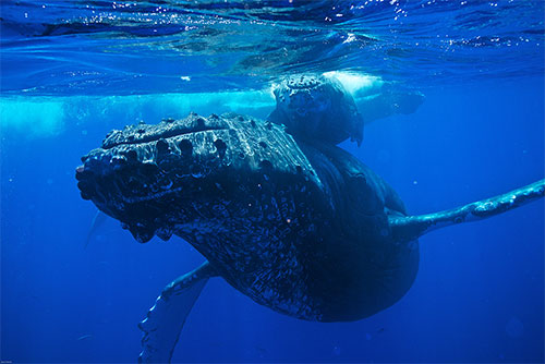 jpg Humpback Whales Are Navigating An Ocean of Change
