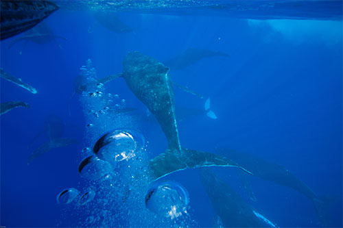 jpg Male humpback whales may be coming to Hawai'i in smaller numbers, staying for shorter durations, or singing less in the sanctuary because they need to spend more time actively competing for females.