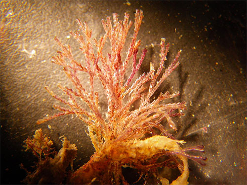 Scientists found the bryozoan Bugula neritina in Alaska for the first time in the town of Ketchikan, as part of the citizen science project Plate Watch.