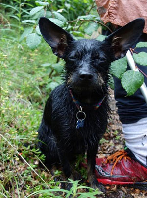 jpg Rainfalls on mainland Alaska, such as the one that soaked this dog, are sometimes the result of atmospheric rivers.