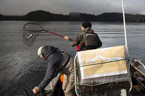 jpg Pacific Salmon Foundation researchers sample overwintering Chinook to be screened for infectious agents, Quatsino Sound, BC, March 2019.