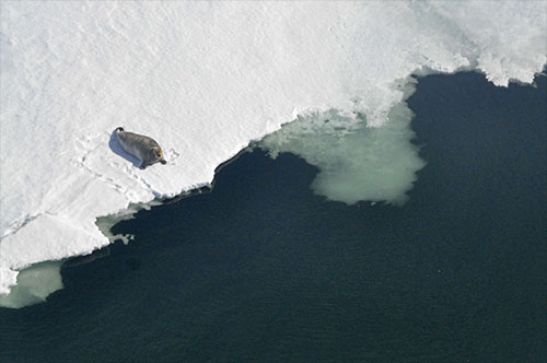 jpg A bearded seal sits on the ice edge in Kotzebue Sound