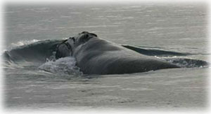 jpg Northern Right Whale