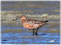 Bar-tailed godwit goes the distance