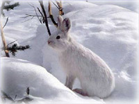 Why do snowshoe hares eat dirt?