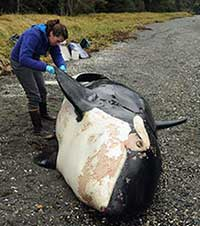"""Scientists conduct full necropsy to determine what killed """"offshore"""" killer whale"""