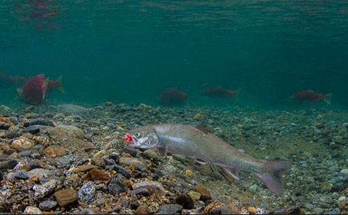 jpg Alaskan trout choose early retirement over risky ocean-going career