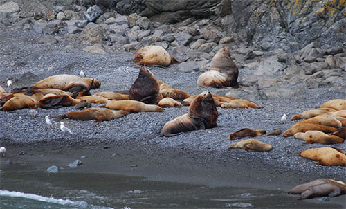 jpg Mixing new technology and people power for an accurate count of endangered Steller sea lions